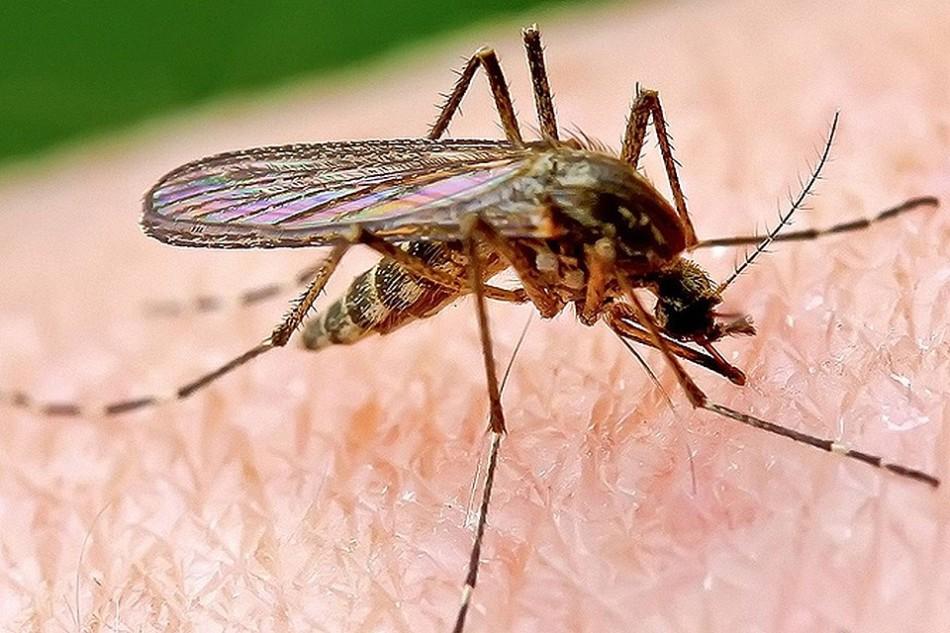 Роспотребнадзор предупредил о появлении комаров-переносчиков лихорадки Западного Нила