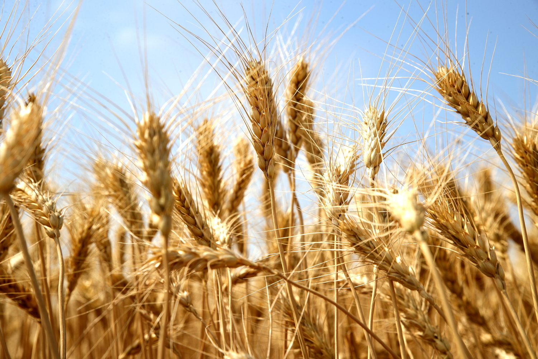 В Ростовской области собрали рекордный урожай ранних зерновых